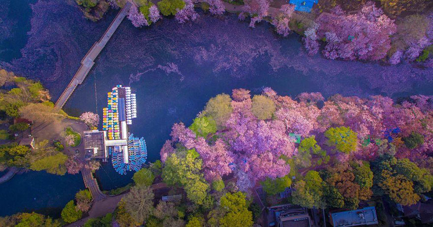 these-photos-of-japanese-cherry-blossoms-are-out-of-this-world-01