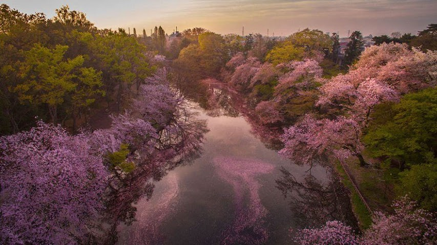 these-photos-of-japanese-cherry-blossoms-are-out-of-this-world-02