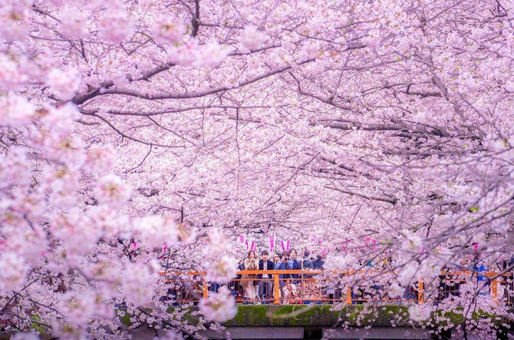 these-photos-of-japanese-cherry-blossoms-are-out-of-this-world-03