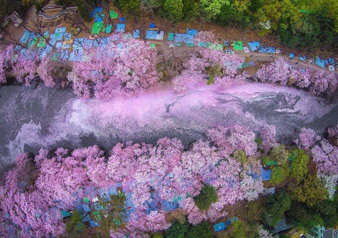 these-photos-of-japanese-cherry-blossoms-are-out-of-this-world-04