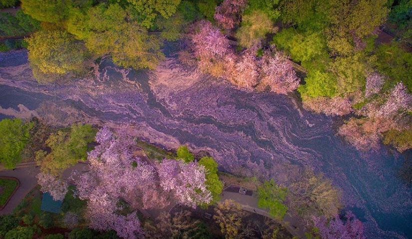 these-photos-of-japanese-cherry-blossoms-are-out-of-this-world-06
