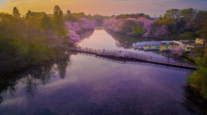 these-photos-of-japanese-cherry-blossoms-are-out-of-this-world-08