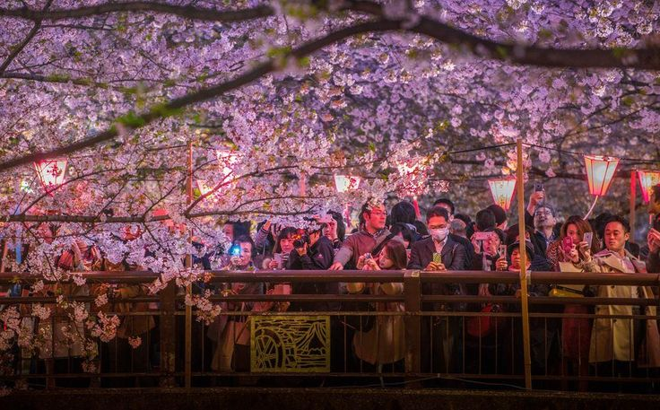 these-photos-of-japanese-cherry-blossoms-are-out-of-this-world-09