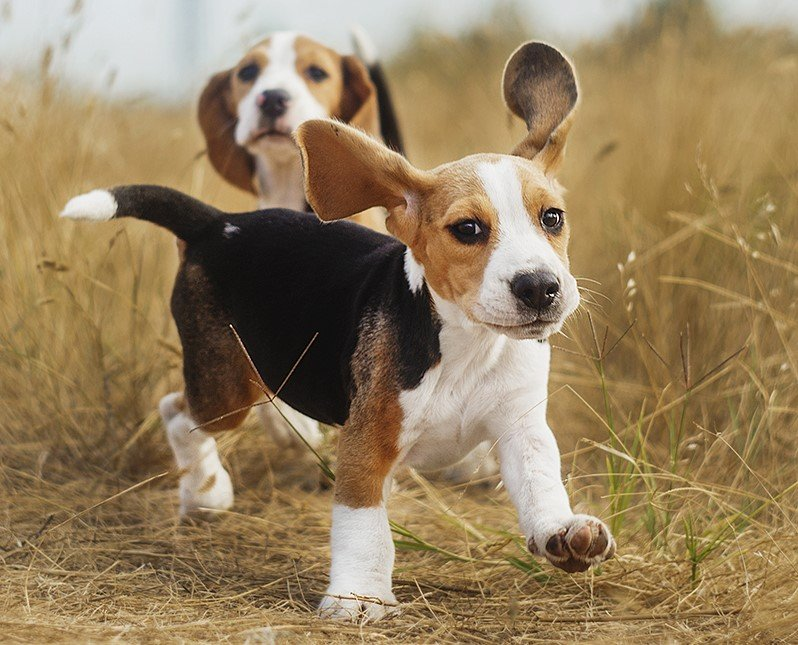 Beagle | 9 of The Best Family Friendly Dog Breeds | Her Beauty