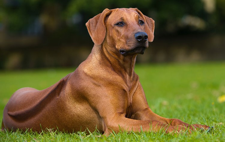 Rhodesian Ridgeback | 9 of The Best Family Friendly Dog Breeds | Her Beauty