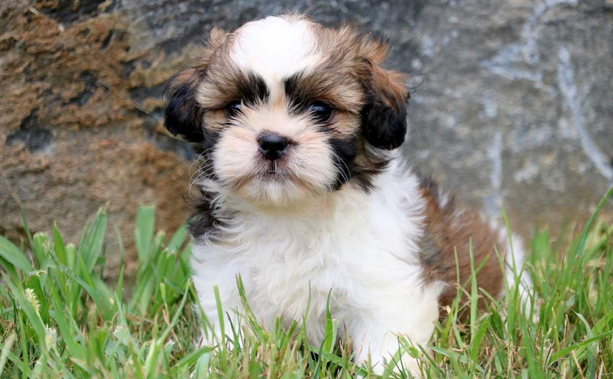 Shih Tzu | 9 of The Best Family Friendly Dog Breeds | Her Beauty