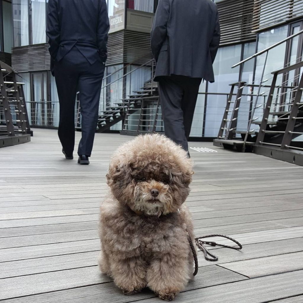 Japanese Toy Poodle Kokoro Is the Cutest Things You'll See Today #3 | Her Beauty