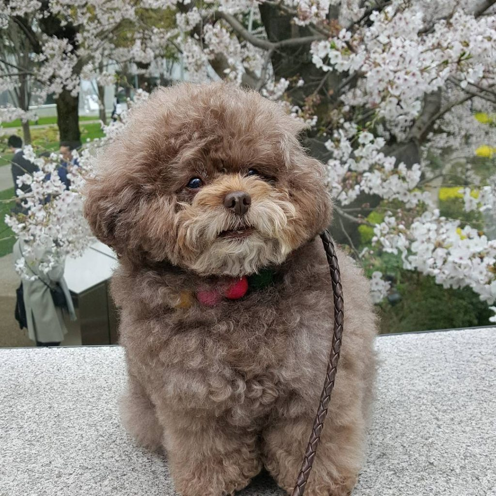 Japanese Toy Poodle Kokoro Is the Cutest Things You'll See Today #5 | Her Beauty