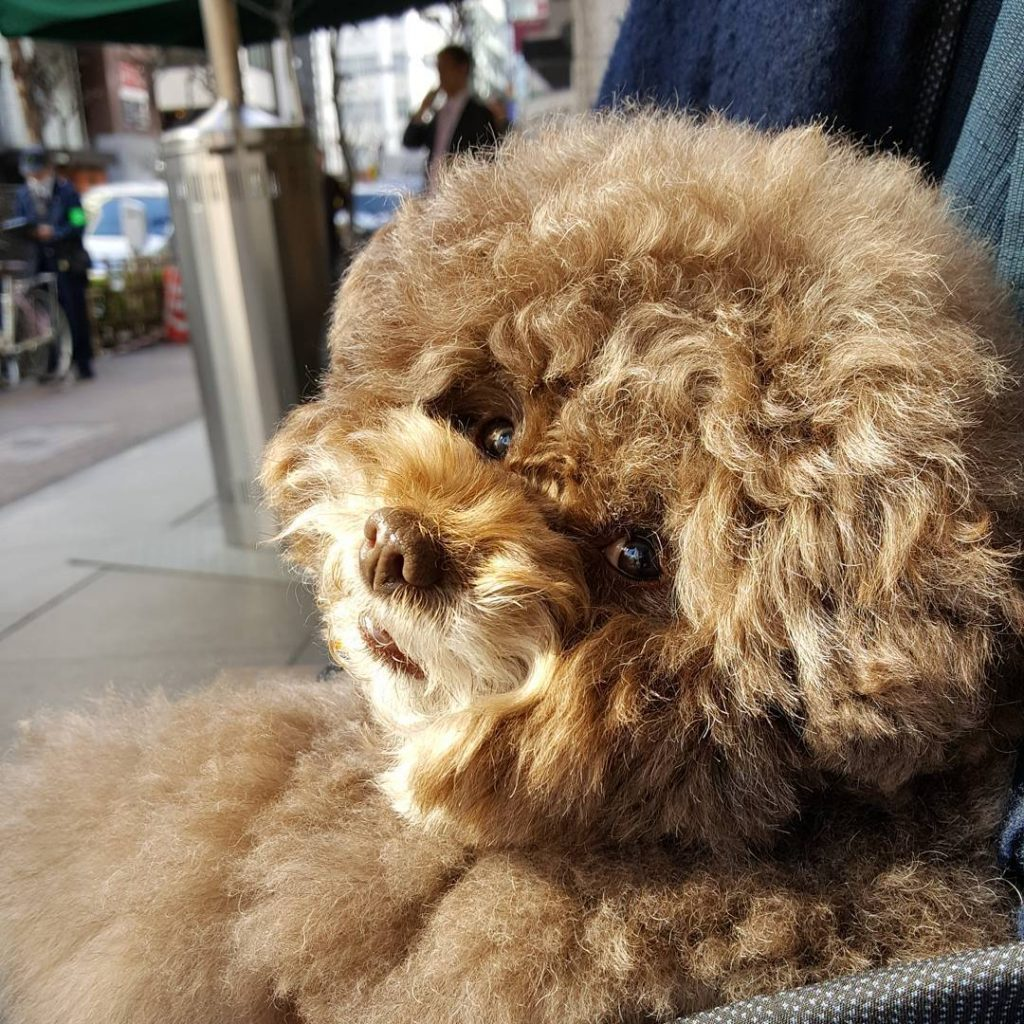 Japanese Toy Poodle Kokoro Is the Cutest Things You'll See Today #8 | Her Beauty