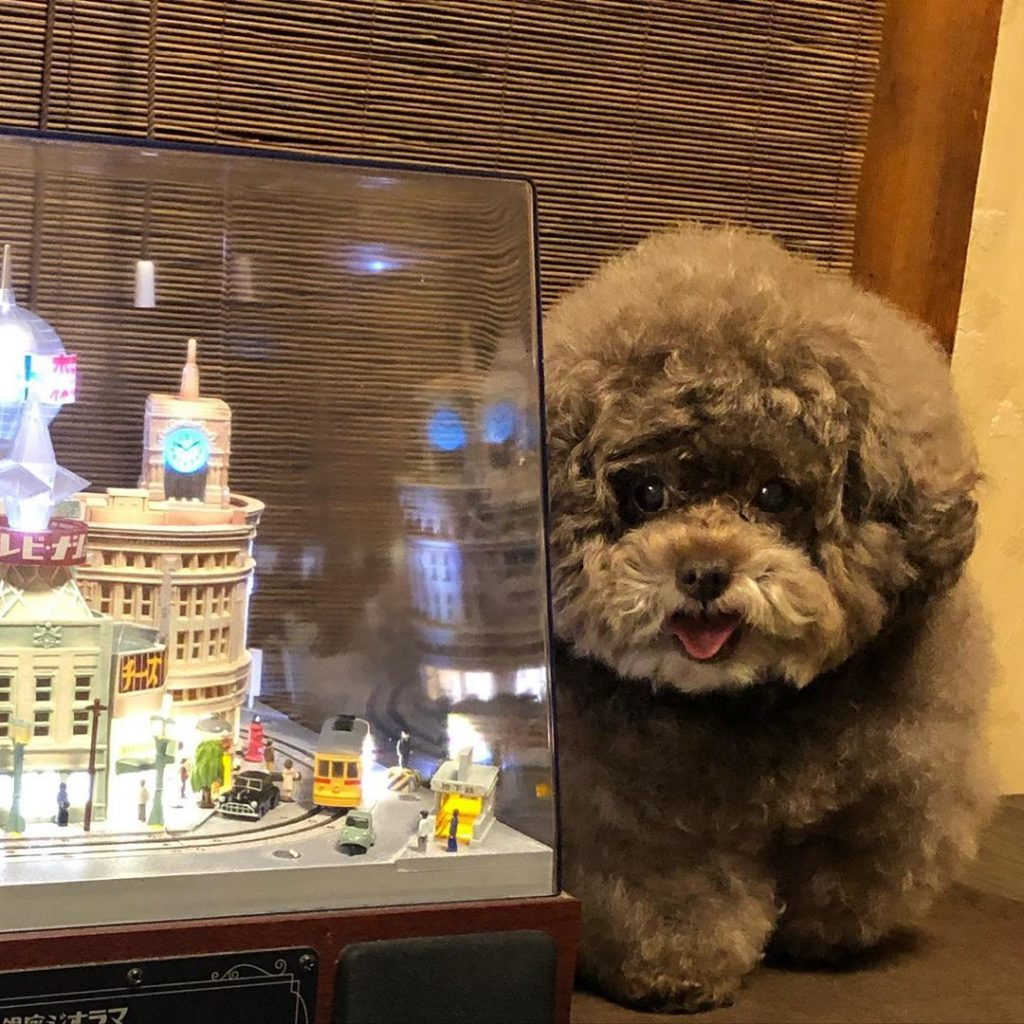 Japanese Toy Poodle Kokoro Is the Cutest Things You'll See Today #11 | Her Beauty